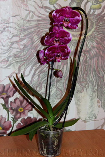 Красивая орхидея в домашних условиях