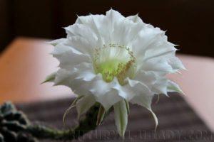 Цветок эхинопсиса