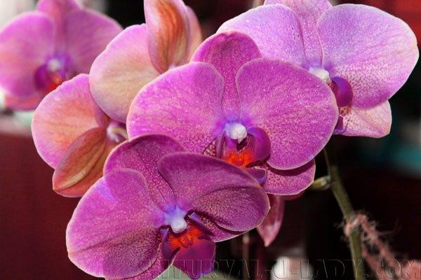 Лиловая орхидея фаленопсис