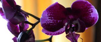 Домашняя орхидея фиолетовая