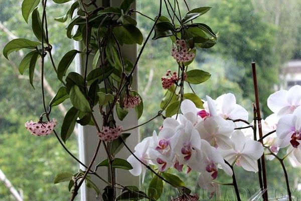 Орхидея и хойя