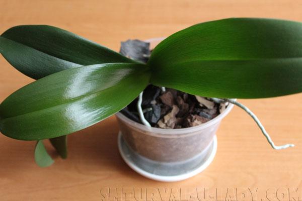 Здоровые листья орхидея
