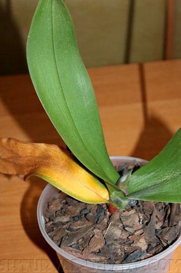 У орхидеи пожелтел лист