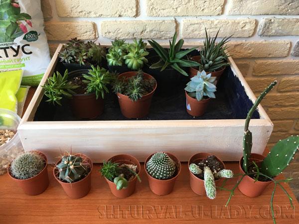 Разновидности кактусов и суккулентов