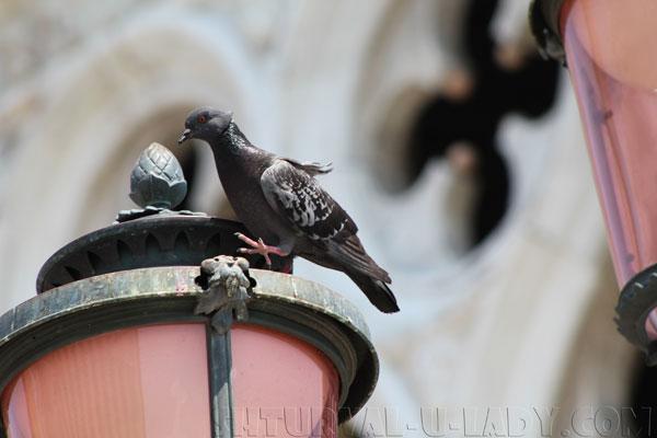 Голуби Венеции