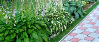 Окаймление садовой дорожки зеленым бордюром