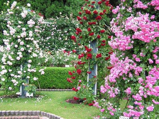 Плетистые розы в саду