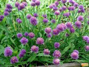 Лук-шнитт в саду
