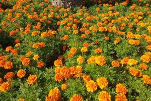 Цветы бархатцы семейства астровых